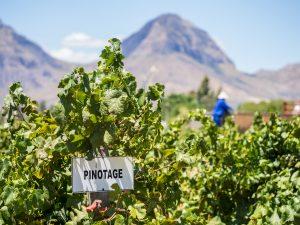 pinotage_winetable_southafricanwine_wosa